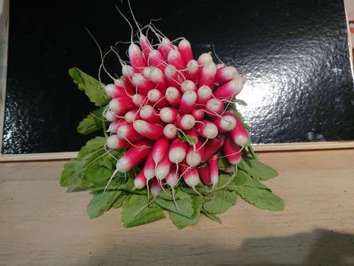 Radis rose
