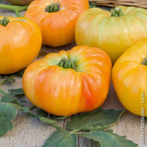 Tomate Ananas Pleine terre