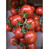 Tomate grappe FR