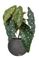 Bégonia Maculata artificiel en pot, H 30 cm