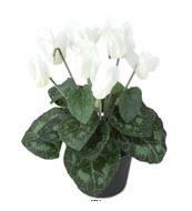 Cyclamen artificiel en pot H 20 cm D 15 cm qualite top Blanc neige