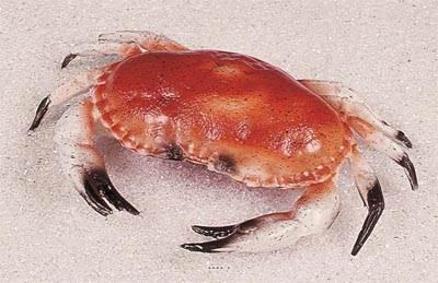 Tourteau crabe artificiel en Plastique soufflé L 320x220 mm