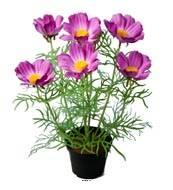 Cosmos fleuries artificielles en pot H 40 cm, Pourpre-rose