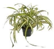 Chlorophytum plante artificielle en pot H 35 cm tres dense