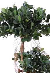 Ficus Panda sur tronc deforme H 140 cm 1812 feuilles artificiel