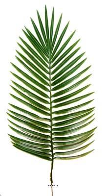 Feuille de palmier Phoenix X6 H 63 cm Plastique pour exterieur D 27 cm superbe