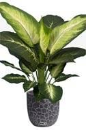 Dieffenbachia artificiel H 60 cm, grandes feuilles, D 57 cm