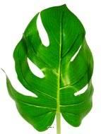 Feuille de Philodendron H 56 cm Tissu plastifié pour exterieur D 20 cm