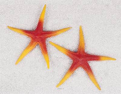 Etoile de mer artificielle orange X 2 en Plastique soufflé D 250 mm