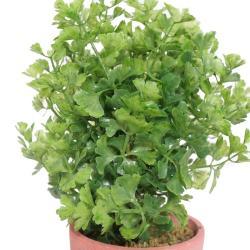 Herbe aromatique artificielle Persil superbe de realisme