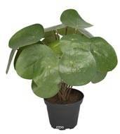 Plante verte, oreilles d'éléphant artificielles en pot, H 25 cm D 25 cm