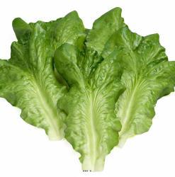 Feuilles de salade Artificielle Laitue X6 en latex superbe