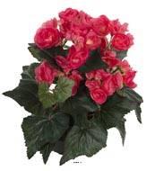 Begonia artificiel Rose jaune en pot H 28 cm superbe qualite