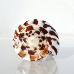 Bague en coquillage Cone entier Naturel Petite Taille 48 / 49