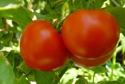 TOMATES RONDES. 1 KG