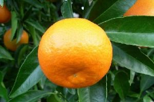 CLEMENTINES. 500 g