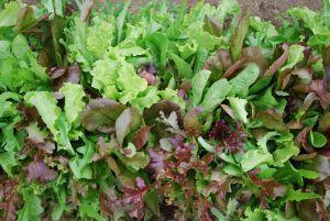 MESCLUN salade en mélange Pqt 100 g