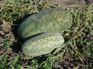 PASTEQUE à confire longue à graine verte Pqt 100 g