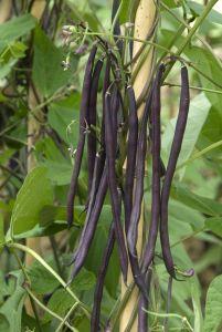 HARICOT A RAMES CARMINAT gousse violette  Pqt 1 kg