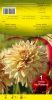 DAHLIA CACTUS Hy Pimento jaune clair strié rouge Pochette - code B