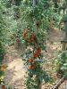 Tomate cerise sweet baby sachet 0,2 g
