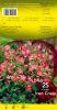 OXALIS Deppei Trèfle à 4 feuilles Pochette de 25 bulbes - code B