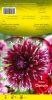 DAHLIA CACTUS Opium violet et blanc Pochette - code B