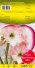 AMARYLLIS APPLE BLOSSOM rose calibre 30/+