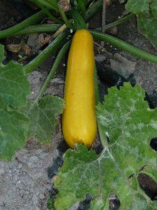 Courgette jaune Parador HF1 sachet 2 g