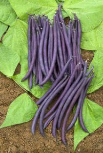 HARICOT NAIN Amethyst gousse violette  Pqt 1 Kg