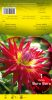 DAHLIA CACTUS Bora Bora rouge coeur jaune Pochette - code A