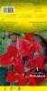 CANNA Président rouge feuillage vert Pochette - code B