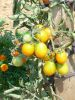TOMATE GOLD NUGGET cerise ronde jaune Pqt   5 g
