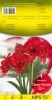 AMARYLLIS CHERRY NYMPH double rouge calibre 30/+