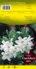 LILIUM CANDIDUM blanc 20+          Pochette H