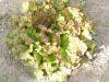 LAITUE BATAVIA rouge grenobloise Pqt  25 g