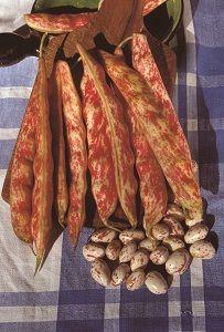 HARICOT A RAMES Borlotto langue de feu pqt 1 kg