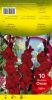 GLAIEUL Traderhorn rouge Pochette de 10 - code B
