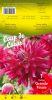 DAHLIA CACTUS Grande Finale rose cerise Pochette - code B