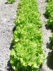 LAITUE BATAVIA dorée de printemps Pqt  25 g
