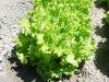 LAITUE BATAVIA dorée de printemps Pqt 100 g