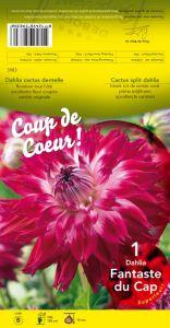 DAHLIA CACTUS Split Fantaste du Cap rose vif  Pochette - code B