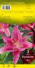 LILIUM Oriental Dynamite rose vif Pochette de 3 - code E