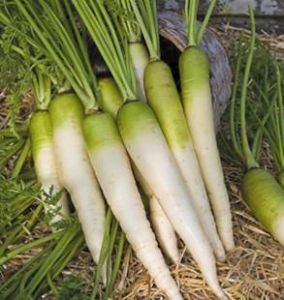 CAROTTE FOURRAGERE blanche à collet vert Pqt 100 g