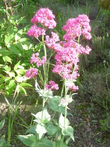 VALERIANE des jardins rouge, centranthus ruber, Pqt  25 g