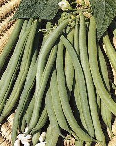HARICOT A RAMES Blanc de juillet pqt 1 kg