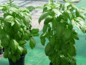 BASILIC grand vert ITALIANO (genovese) Pqt 25 g
