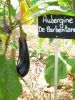 AUBERGINE violette de Barbentane Pqt  25 g