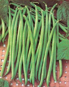 HARICOT NAIN CALYPSO semences non traitées pqt de 1 kg