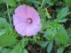 LAVATERE à grande fleur varié Pqt 100 g